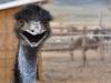 emu-study-no-1